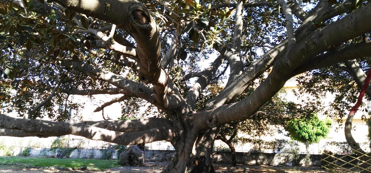 Ficus siderno
